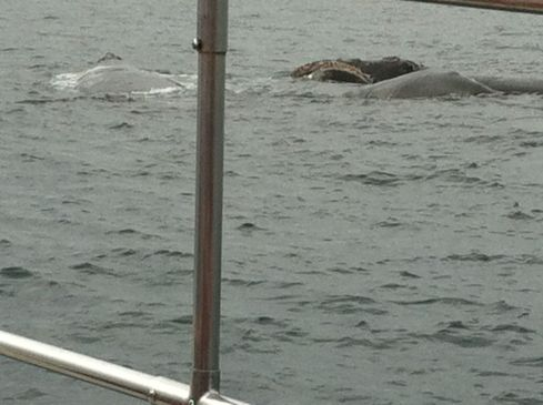 Three ballena franca (southern right whales) close to.