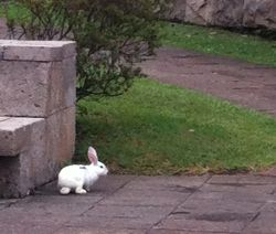 A White Rabbit