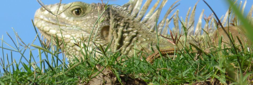 aa iguana