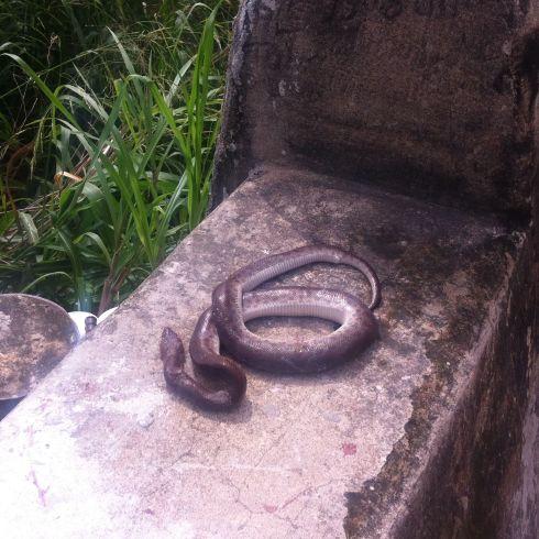 Dead deadly snake