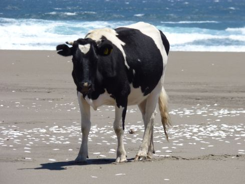 day1 black cow on beach