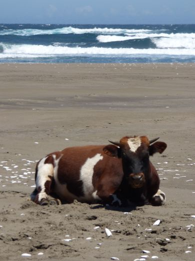day1 brown cow beach