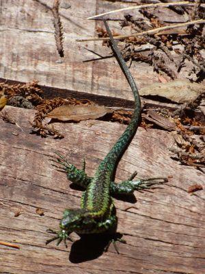 day2 lizard