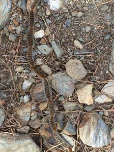 Pine Caterpillar chain