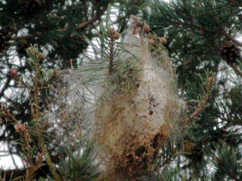 Pine_processionary_moth_