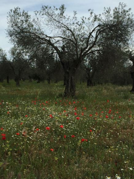 poppies and olive tree