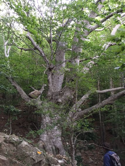 boulder-in-tree-1