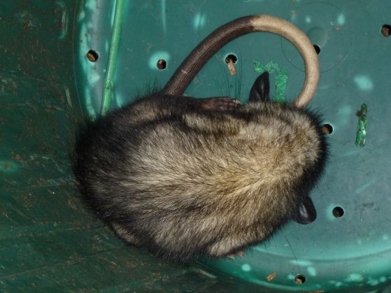 possum-in-a-bucket